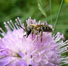 L'abeille solitaire, pollinisatrice