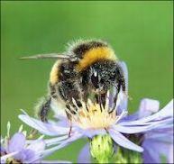 Le bourdon, pollinisateur
