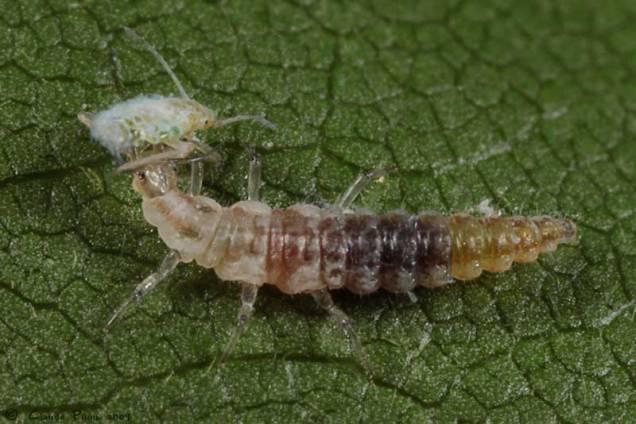 La larve de la chrysope se nourrit de thrips, pucerons, araignées rouges, chenilles, cochenilles, etc...
