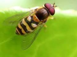 Le pemphédron mange les larves des pucerons
